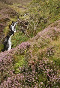 Heather grows wild on Scottish hillsides.