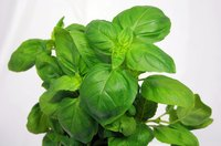 Keep basil bug-free with natural pesticides.