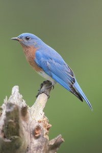 Bluebird houses need to be protected from predators.