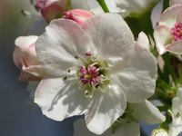 A Bradford pear's flowers look sweet, but some people don't like their smell.