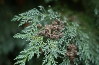 The foliage and cones of Leyland cypress