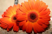 Gerbera daisies are a simple flower to draw.