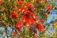 Pruning the bottlebrush shrub will promote healthy growth and flowering.