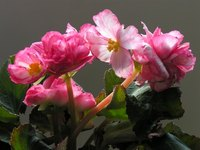 To some, the begonia means knowledge.