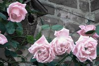 A soft, lavender-pink is one of the many colors of climbing roses.