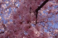Weeping cherry trees put on a show in spring.