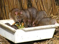 Rats could contaminate infested areas with their urine and droppings.