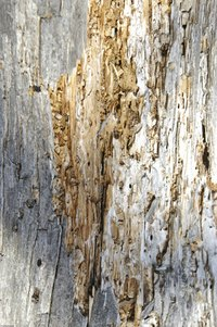 Drywood termites can infest old tree trunks and wood siding.