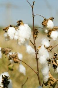 By 1861, the United States produced 66 percent of the world's raw cotton.