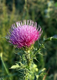 A milk thistle plant is as physically harmful as it is detrimental to pasturelands.