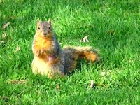 Squirrels like the sugary carbohydrates found in vegetable gardens.