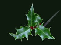 While the spike edged holly leaf is the best known shape, it is not the only kind of holly leaf.