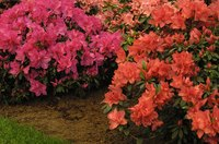 Azaleas are acid-loving plants, so nearby plants should be able to handle the acidity.