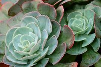 Succulents display an amazing variety of form and color.