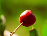 A single hawthorn berry