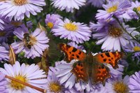 Colorful aster flowers attract pollinators in the fall garden.