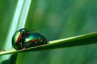 Japanese beetles have a unique reproduction process.