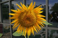 Sunflowers have large, edible seeds.