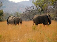 Resilient grasses and tough trees flourish on the African Savannah.
