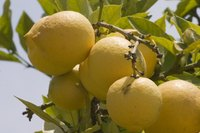 Southern California is one of the few areas of the country suitable for growing lemons.