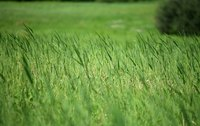 You can kill Bahia grass in Centipeded grass with chemical herbicides.
