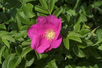Wild roses were the theme of one of Van Gogh's paintings.