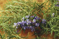 Rosemary oil can repel insects, including ticks.