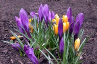 Transplant crocus bulbs to spread these cheery blooms around a landscape.