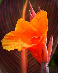 Tropical-looking canna lily.