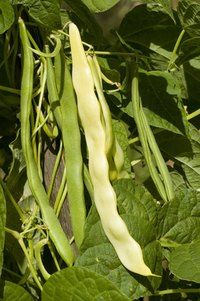 Pole beans and other legumes require little extra nitrogen.