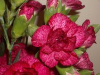 Prepare carnations for winter to protect them.