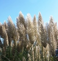 Eradicate pampas grass with an environmentally friendly technique.