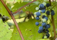 Wild grapes might seem tough to kill.