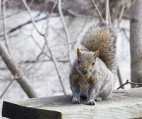 Problems with destructive squirrels may be solved by trapping and relocation.