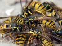 Removing wasps with homemade organic spray can be easy, quick and cost-effective.