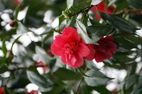 Camellias produce blooms during the winter months.