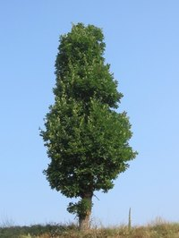 Certain arborvitaes and junipers are called cedars in the U.S.