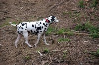 Dalmations are white with black spots.