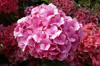 Before drawing, look in detail at a hydrangea to catch every aspect of it for your art.
