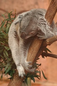 Koalas like to eat eucalyptus leaves.