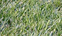 Dethatching might be necessary to control grassy weeds.