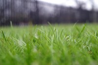 You can plant individual grass plants to establish a Bermuda grass lawn.