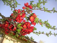 Ornamental trees such as the crabapple add color and variety to the landscape.