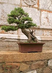 The bonsai form mimics that of certain wild trees.