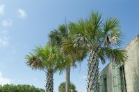 Palmetto palms are fairly simple to trim.