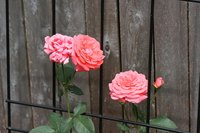 Coral pink roses in full bloom.