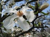 Magnolia trees are susceptible to a few problems, but overall are easy to care for.