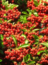 Holly bushes are susceptible to environmental stress and fungus problems.
