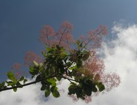 Cotinus coggygria  can be grown into trees or bushes with proper pruning.