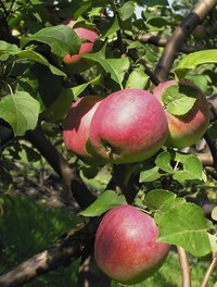 Apple scab is a fungus that affects apple trees.